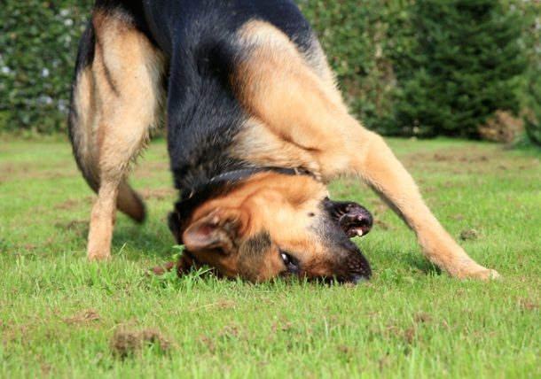 Dogs With Flea Allergy Dermais Have